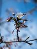 (massimopisani1972) Tags: roma lazio italia hanami ciliegi fioritura ciliegio rome italy primavera olympus mirrorless omd em5mk2 springtime