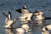 Snow Goose landing....6O3A0581A (dklaughman) Tags: snowgeese goose chincoteagueislandnwr virginia bif