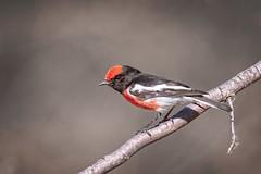 small bird series: ♂ red-capped robin (Fat Burns ☮ (on/off)) Tags: redcappedrobin petroicagoodenovii smallbird bird australianbird fauna australianfauna redbird robin nikond750 sigma150600mmf563dgoshsmsports sigmateleconvtc1401nik lagooncreek barcaldine queensland