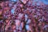 Plum tree (Christophe-la) Tags: jonangu plumtree flower 梅の花 梅 花 kyoto japan