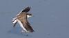 red-kneed dotterel (Erythrogonys cinctus)-6437 (rawshorty) Tags: rawshorty birds canberra australia act jerrabomberrawetlands
