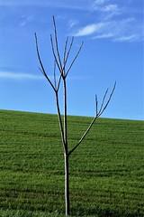 un piccolo albero - Pianello di Ostra (walterino1962 / sempre nomadi) Tags: alberello tronco rami collina pendio campocoltivato nuvole luci ombre riflessi pianellodiostra ancona
