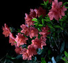 _MG_3326.CR2 (jalexartis) Tags: azalea shrubbery pinkazalea deeppinkazalea dark afterdark nightphotography night nightshots