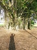 The Fig Tree and My Shadow (Stanley Zimny (Thank You for 30 Million views)) Tags: shadow me tree fig australia travel