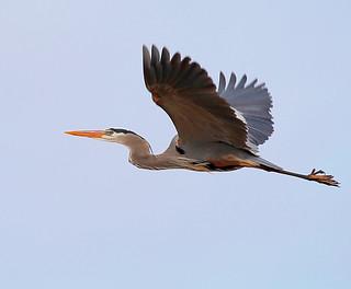 Great-Blue-Heron-56w