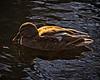Miss Mallard (MrBlueSky*) Tags: mallard duck waterfowl animal wildlife nature water colour kewgardens royalbotanicgardens london pentax pentaxart pentaxlife pentaxk1 pentaxawards pentaxflickraward aficionados
