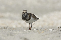 Ruddy Turnstone (ucumari photography) Tags: ucumariphotography sanibelisland fl florida island march 2018 bird animal dsc2989 specanimal ruddyturnstone arenariainterpres