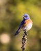 Western Bluebird (Renee Wood) Tags: bluebird westernbluebird farragutstatepark idaho