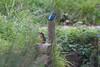 Kingfishers (Rods Kingies) Tags: ijsvogel halcyon kingfisher eisvogel alcedoatthis birds birdsinflight diving fish electricblue martinpêcheur vogel fugl tier iridescent river lake canal animal bird wasser water nature fauna wild wildlife rodskingies natur glück bluebirdofhappiness bluebird freude entspannung uk britain green blue fisch taucher räuber orange tree alcedines alcededoj alcedinidae alcédinidés martinspêcheurs martinschasseurs martinespescadores alciones martines martinpescatore malachietijsvogel