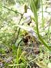 Ophrys oestrifera subsp. montis-gargani (peter.scott1) Tags: montisgargani ophrys peschici oestrifera hornedbeeorchid gargano