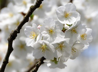 Exploding blossom's