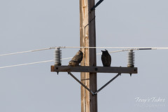 Pair of Great Horned Owls on a power pole