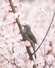 ヒヨドリとウメ (Big Ben in Japan) Tags: bird brownearedbulbul hiyodori plumblossoms ume