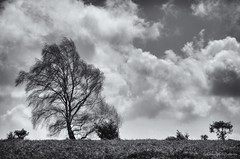 blowing in the wind (sure2talk) Tags: blowinginthewind windyday wind tree clouds motion motionblur blackandwhite newforest nikond7000 nikkor70300mmf4556afsifedvr 118picturesin201851blowinginthewind