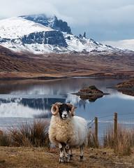 Loch Fada Sheep (Johan Konz) Tags: lochfada isleofskye skye scotland lake water reflection sheep grass field sky mountain snow oldmanofstorr outdoor landscape nikon d7500 waterscape animal tree