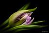 Lilac Tulip (Magda Banach) Tags: canon canon80d sigma150mmf28apomacrodghsm flora flower lilac macro nature tulip