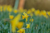 Standing out (microwyred) Tags: grass forestwoods spring events season nature flower greencolor meadow beautyinnature closeup flowerhead landscapes field trees plant daffodils summer blackthorn wildflower petal freshness outdoors blossom flowerbed yellow springtime wildflowers