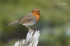 Robin (Karen Miller Photography) Tags: 2018 animal bird blackisle blackislehides d500 highlands karenmiller karenmillerphotography march nature nikon outdoors pineforest scotland scottishphotography tamron150600mm tit wildlife robin