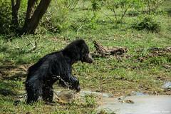 Sri Lankan Sloth Bear (UpeKha Hewa) Tags: wildlife yala slothbear bears bear srilanka nature nationalpark mammals canon5dmark4 canon400mm canon