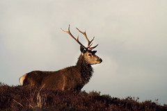 Red Deer Stag (Gavin MacRae) Tags: stag reddeerstag cervuselaphus reddeer deer strathglass glenstrathfarrar glenaffric glencannich goldenhour winterstag woodlandwildlife wildlife nature nikon highlandsofscotland highlandnature highlandwildlife highlands scottishwildlife scottishnature scottishhills scotland