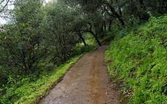 Coyote Trail (LeftCoastKenny) Tags: ranchosanantonio trees brush ferns trail rain