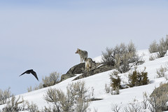 Two coyotes and one raven (V. C. Wald) Tags: coyote canislatrans raven coruscorvax yellowstonenationalpark yellowstoneinwinter tamronsp150600f563divcusdg2