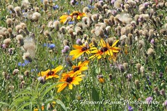 Lancaster Wildflower Meadow (222) (Framemaker 2014) Tags: lancaster wildflower meadow manhiem township pennsylvania dutch country county united states america