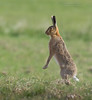 Brown Hare - Lepus europaeus (rosebudl1959) Tags: 2016 brownhares dorset
