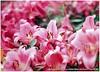 Pisker_Berlin_135F35-34720008 (猜猜 Guess TSAI) Tags: mamiya 645 pro pisker co berlin 135mm 135 picon v fuji rvp 100 13535 germany 中社花市 flower tulip