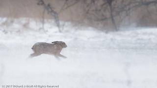 Hare (Lepus europaeus) in snow storm