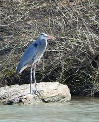 heron on the rock (foxtail_1) Tags: panasoniclumixg85 panasonicg85 ardeaherodias greatblueheron