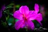 Azaleas-921412 (jbalfus) Tags: sel90m28g sonya9 azaleas flowers saratoga california unitedstates us