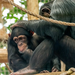 Why is mama always picking on me? (Pejasar) Tags: chimpanzee primate tulsacityzoo tulsa oklahoma baby mother caring grooming zoosofnorthamerica