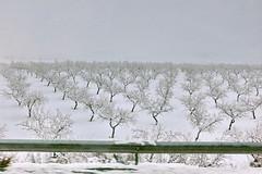 La danza de la nieve (Micheo) Tags: spain a308 drivebyshoot nieve snow paisaje bogarre desdeelautobús camino carretera viaje invierno window wintertime almendros almondtrees blanco white guardarail