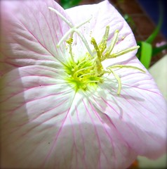 Four O'Clock Flower Anatomy <<>> IMG_0606 - Version 3 (Chic Bee) Tags: botany anatomy flower structure detailed fouroclock mexicanfouroclock pink white yellow green pastel shades hues micro tucson arizona usa america americansouthwest southwesternusa