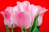 Bold but Beautiful (L E Dye) Tags: muttartconservatory 2018 alberta canada d5100 edmonton floral flowers ledye nikon tulips