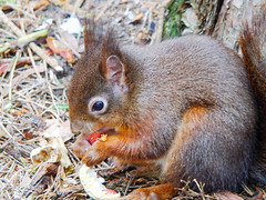 Peanut (tubblesnap) Tags: liverpool merseyside formby crosby holiday red squirrel cute tufty feeding nuts