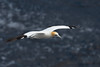 Gannet in flight (adbecks) Tags: new zealand nz wildlife birds muriwai flight d500 300pf