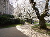 DSCN5533 (amgirl) Tags: march21 thequad seattle uw trees cherryblossom 2018 spring