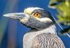Yellow-crowned Night Heron (backyardzoo) Tags: bird echo heron night yellowcrowned yellowcrownednighthero