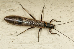 Winter Stonefly (mattbpics) Tags: canon 70d 100mm macro insect stonefly ef100mmf28lmacroisusm nature