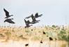 Flying goose. (HIromi Kano) Tags: kurihara miyagi japan tome kuriharashi eaafp ramsarconvention animal wildbird wildgoose water fly flying nature 日本 伊豆沼 宮城県 登米市 栗原市 マガン 内沼 自然 野鳥 ngc