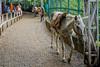 Jai Mata Di Trip ... (Bijanfotografy) Tags: nikon nikond500 nikondx dx nikon24mm28af nikkor india jammukashmir jk jammu katra jaimatadi street streetphotography horse pilgrimage