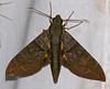 Hawkmoth (Eumorpha phorbas) (berniedup) Tags: kaw roura guyane moth hawkmoth eumorphaphorbas sphingidae taxonomy:binomial=eumorphaphorbas