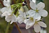 Cherry Blossom (chooyutshing) Tags: flower cherryblossom sakuramatsuri floraldisplay flowerdome gardensbythebay baysouth marinabay singapore