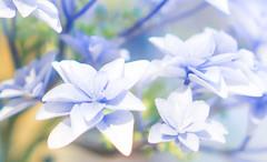 The Blues (judy dean) Tags: judydean 2018 hydrangea macomondays theblues