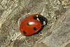 7 Spot Ladybird (Prank F) Tags: rspb thelodge sandy bedfordshireuk wildlife nature insect macro closeup beetle ladybird ladybug 7spot coccinella7punctata