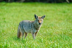Alhambra Valley Coyote (lennycarl08) Tags: coyote martinez contracostacounty eastbay wildlife animalplanet animals