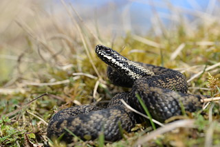 King of the Hill - Gloucestershire adder