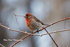IMG_4038 (nitinpatel2) Tags: bird nature nitinpatel